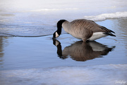 12th Mar 2019 - The Canadian Goose!