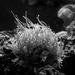 more anemone