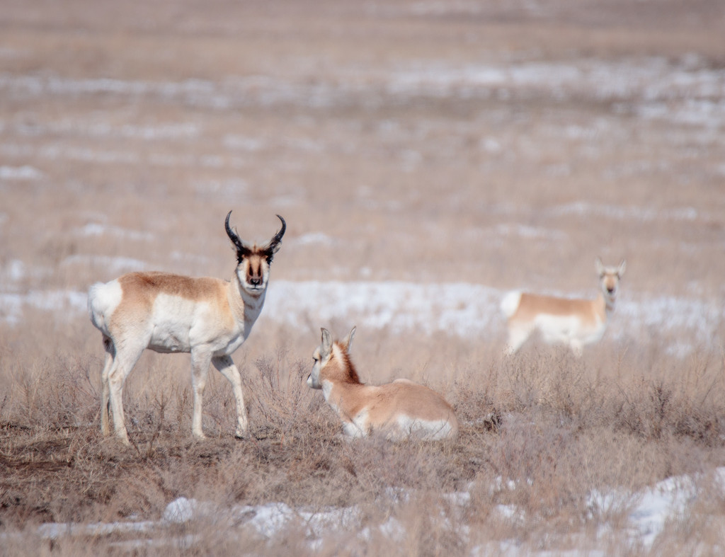 antelope by aecasey