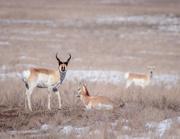 11th Mar 2019 - antelope