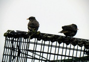 11th Mar 2019 - Starlings