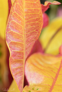 12th Mar 2019 - Colourful Croton