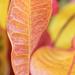 Colourful Croton