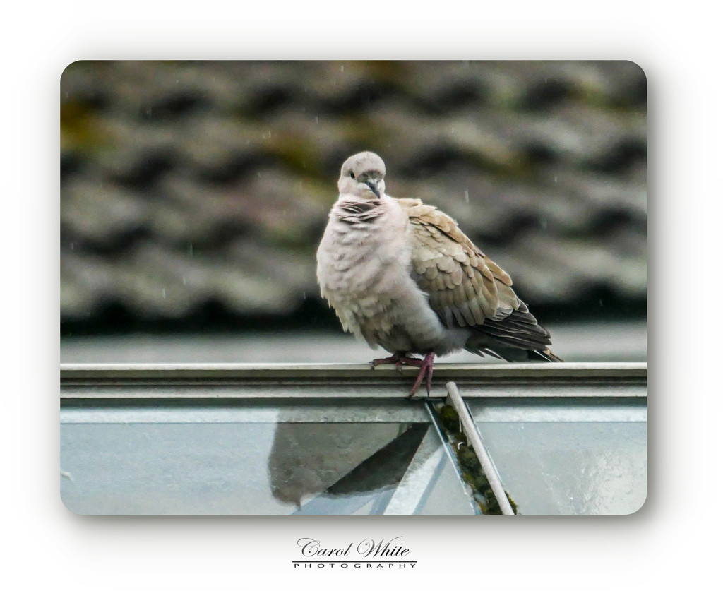 Collared Dove In The Rain (through the conservatory window) by carolmw