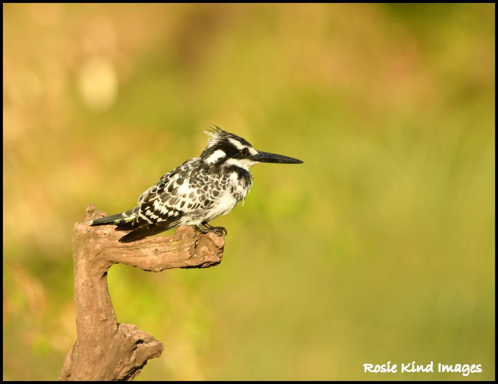 Pied kingfisher by rosiekind