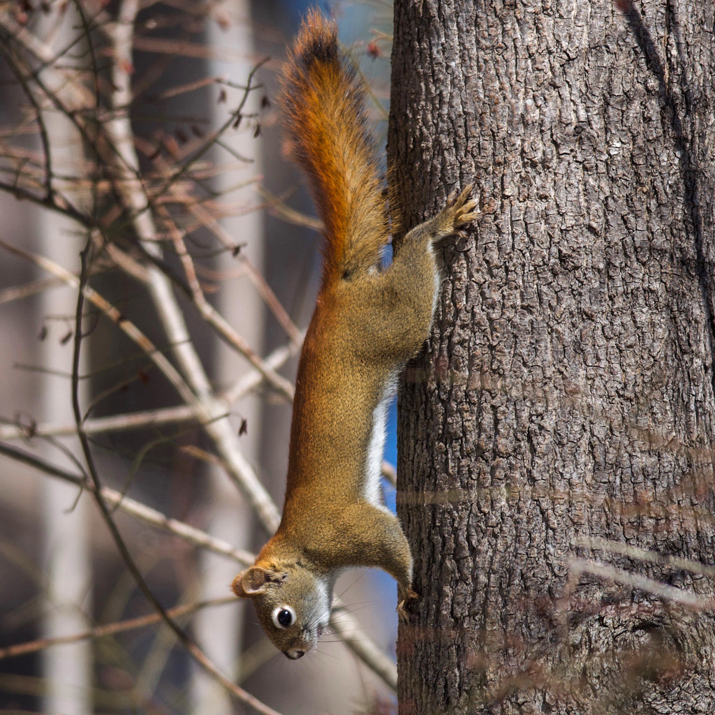 Ruby, American Red Squirrel by berelaxed