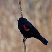 13th Mar 2019 - red-winged blackbird