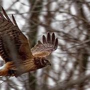 13th Mar 2019 - Marsh hawk