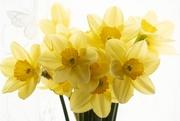 13th Mar 2019 - Beautiful Daffodils