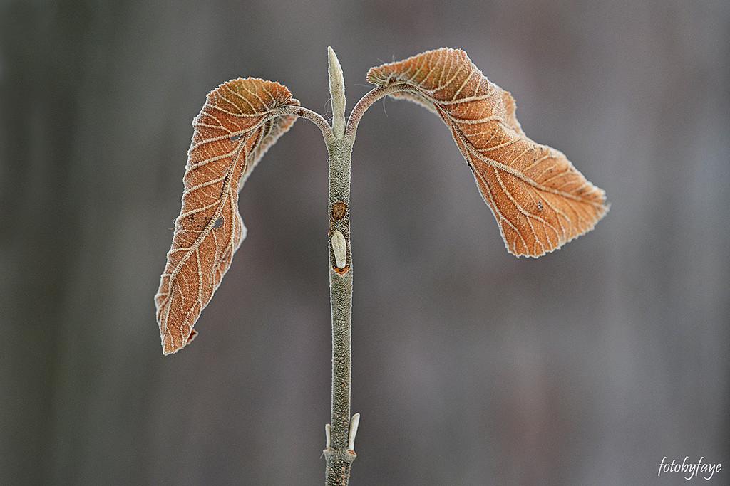 Two Leaves! by fayefaye