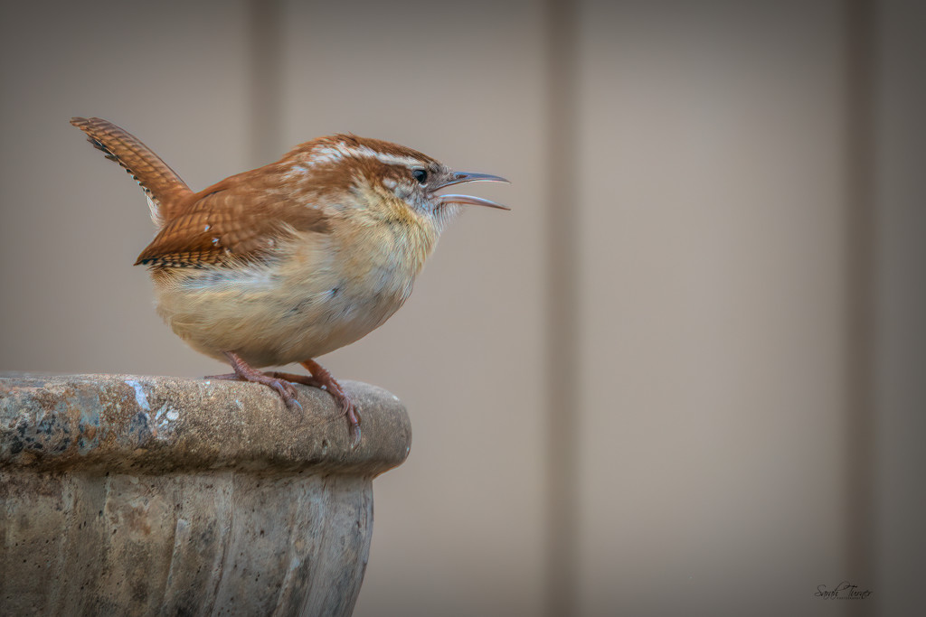 Carolina wren has a lot to say by samae