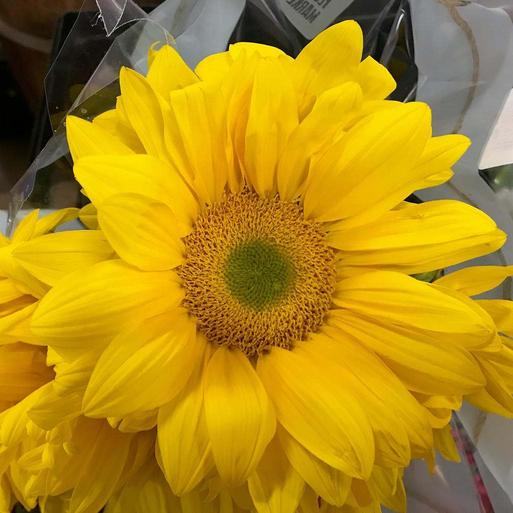 Sunflower by sandlily