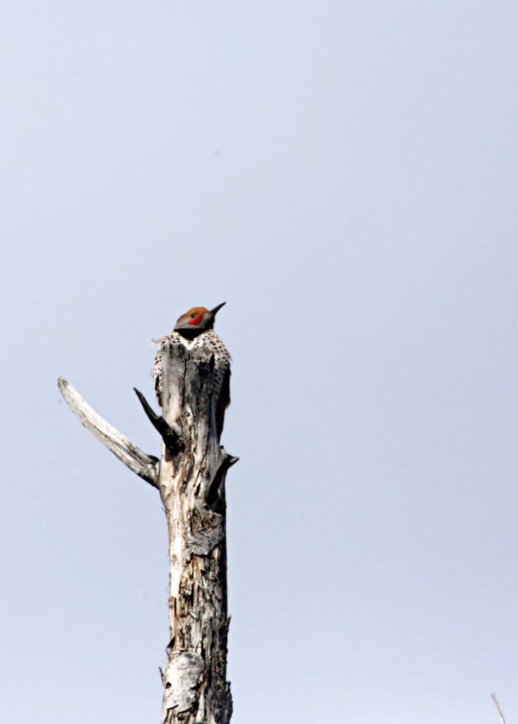 Woodpecker by gq