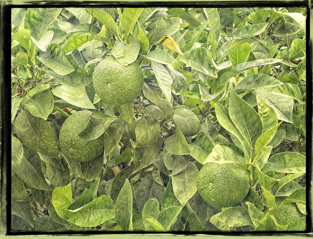 Green Oranges by gardencat