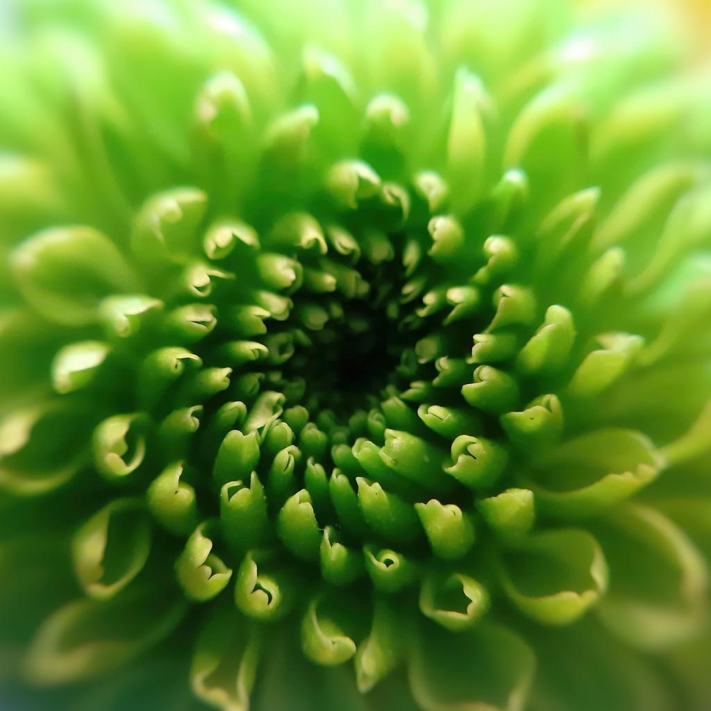 A green green chrysanthemum by m2016