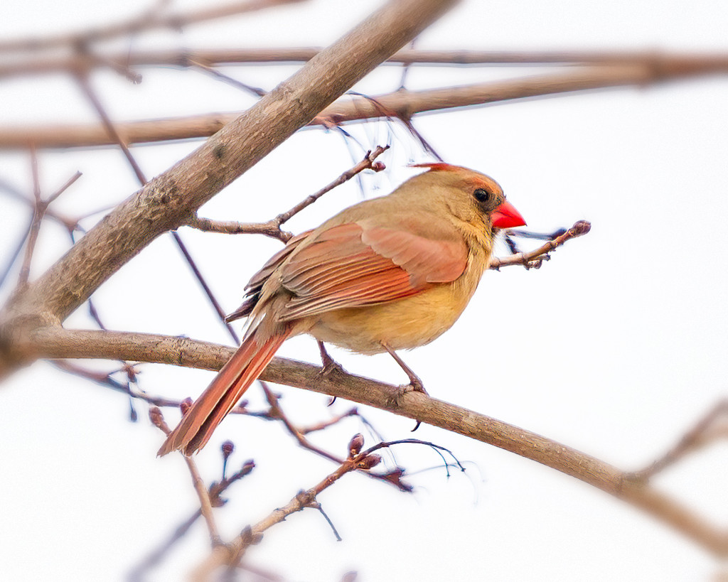 lady Cardinal by jernst1779