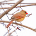 lady Cardinal by jernst1779