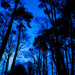 Bluehour Pinetrees