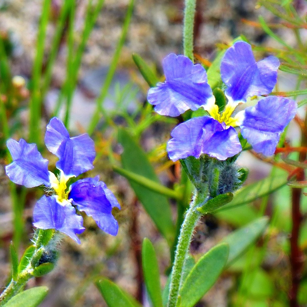 Rainbow Month Day 15 - Leschanaultia by judithdeacon