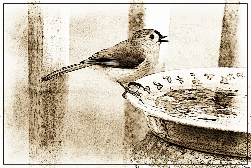 Tufted Titmouse by olivetreeann