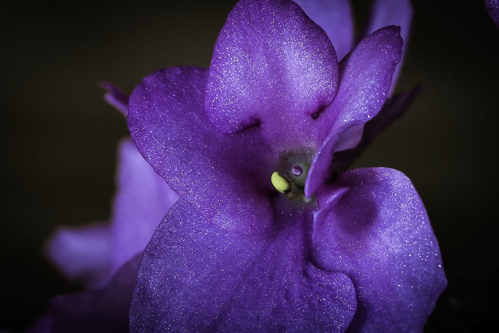 Pink Violet by kipper1951