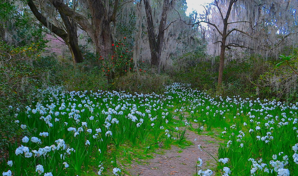 Field of narcissus, Magnolia Gardens, Charleston by congaree