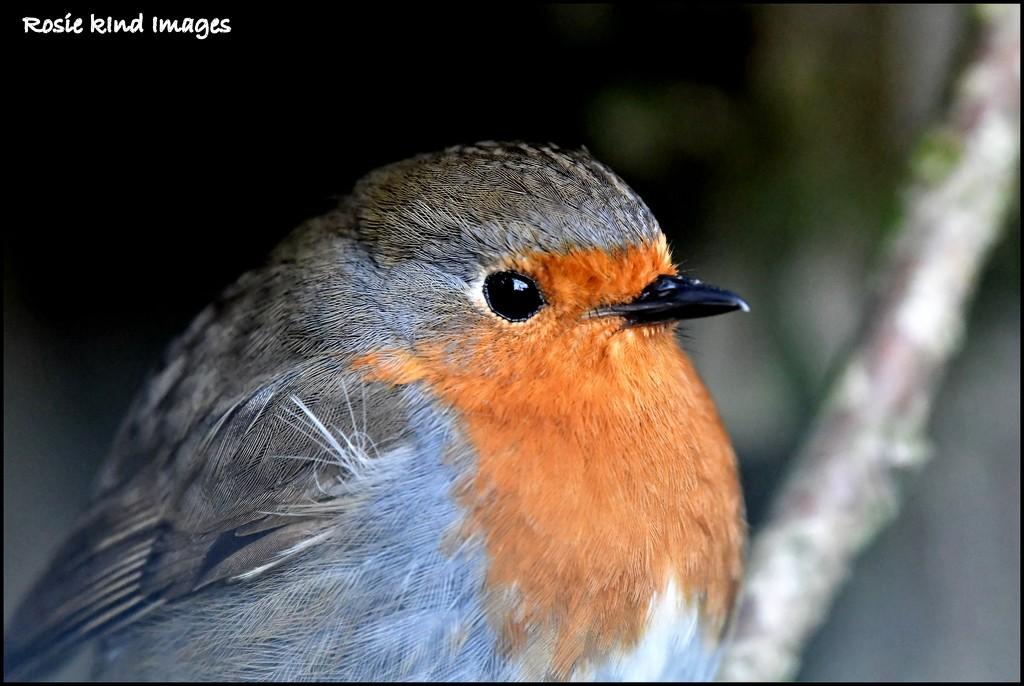 A beautiful little robin by rosiekind