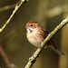 2019 03 15 - Reed Bunting (female)