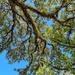 Old oak canopy
