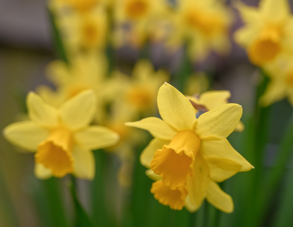 Daffodil corner by inthecloud5