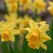 Daffodil corner