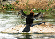 16th Mar 2019 - African Darter drying it's wings