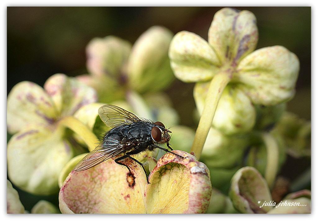 Fly on the Hydrangea.. by julzmaioro