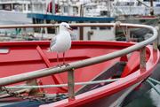 15th Mar 2019 - Silver Gull