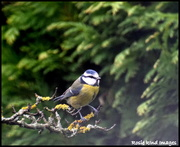 16th Mar 2019 - Little blue tit