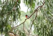 17th Mar 2019 - Male Scarlet Robin