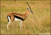 9th Mar 2019 - Thomson's Gazelle