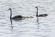 14th Mar 2019 - Pair of black Swans with cygnets
