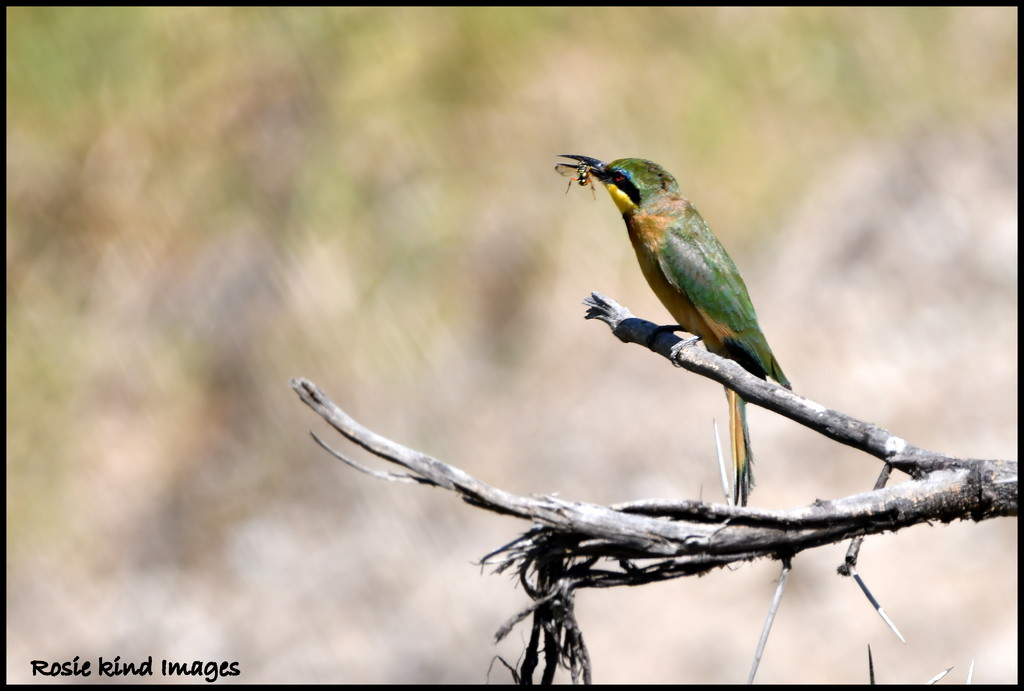Little bee eater with bug by rosiekind