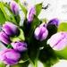 Purple Get Well Tulips