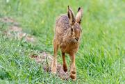 16th Mar 2019 - Hare on the Run