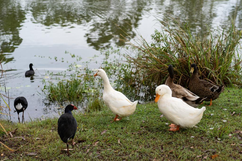 Duck, duck.. no goose by sugarmuser