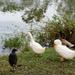 Duck, duck.. no goose
