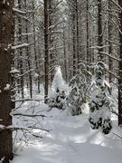 16th Mar 2019 - Snowy Trees