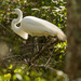 One More Egret Gathering Twigs!