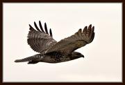 16th Mar 2019 - Hawk Series #4 - In flight...........