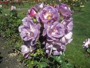 19th Feb 2019 - Taken in the Rose Gardens   Botanic Gardens  Wellington