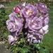 Taken in the Rose Gardens   Botanic Gardens  Wellington