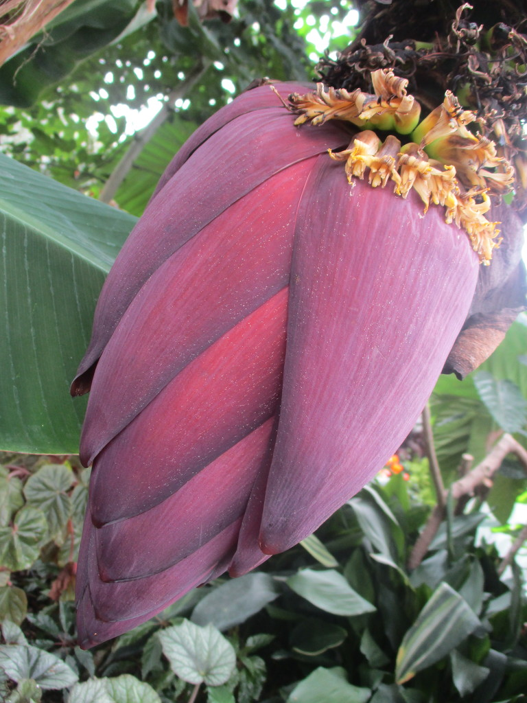 Banana Flower in the Hot house.  Wellington Botanic Gardens  NZ by 777margo