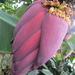 Banana Flower in the Hot house.  Wellington Botanic Gardens  NZ